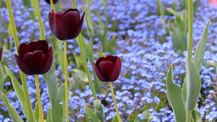 black-tulips-4150533_960_720