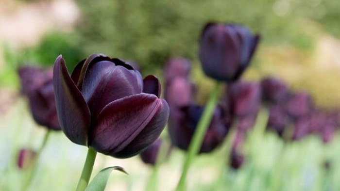 y-nghia-hoa-tulip
