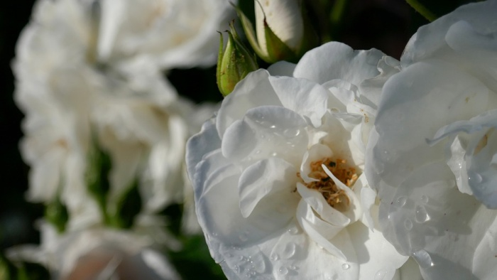 roses-4292136_960_720