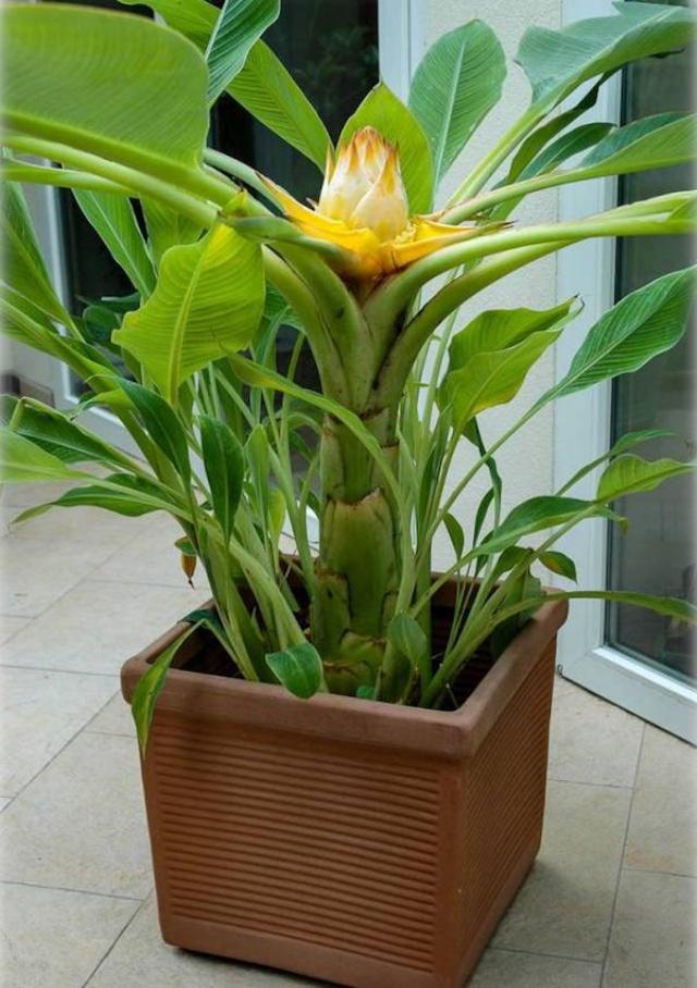 musella-lasiocarpa-golden-lotus-banane