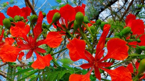 Sự tích loài hoa phượng