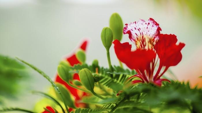 Cánh hoa phượng cuối cùng