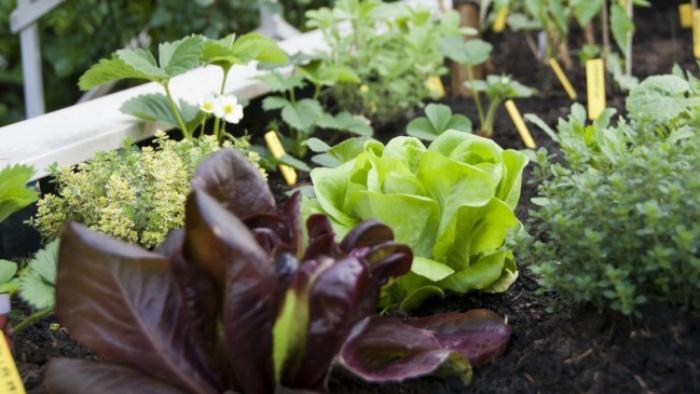 Vườn rau diếp của mẹ