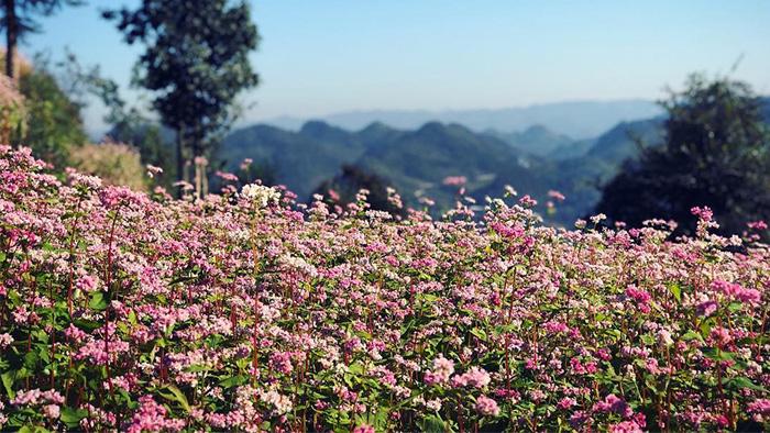 Mùa hoa tam giác mạch - mùa viết những lời yêu thương