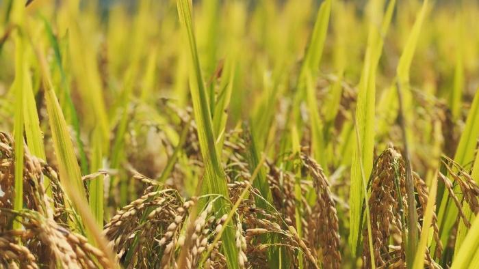 Hương lúa